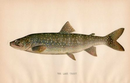 THE LAKE TROUT