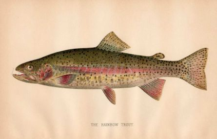 THE RAINBOW TROUT