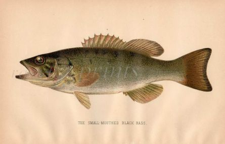 THE SMALL MOUTHED BASS