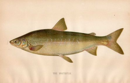 THE WHITEFISH