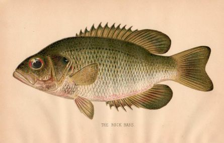 THE ROCK BASS