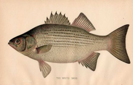 THE WHITE BASS