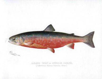 SUNAPEE TROUT print  (American Saibling)