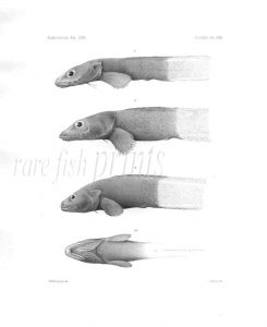 LYCODES & PHUCOCOETES - Garman deep sea fish print