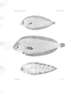 MONOLENE & SYMPHURUS - Garman deep sea fish print