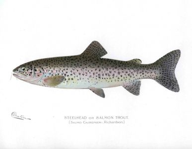 THE STEELHEAD or SALMON TROUT print (Salmo Gairdner)