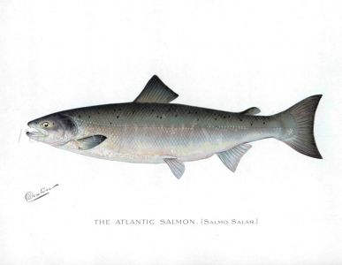 THE ATLANTIC SALMON print (Salmo Salar)