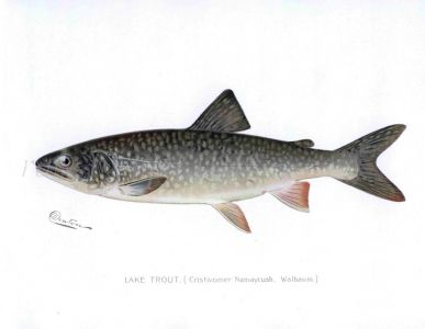 THE LAKE TROUT print (Cristivomer Namaycush)