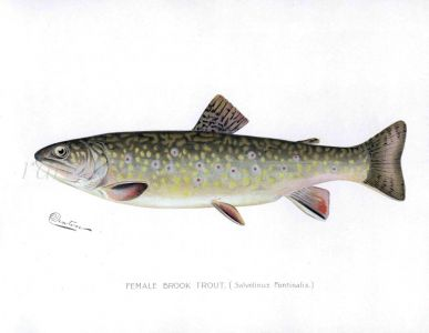 THE FEMALE BROOK TROUT print (Salvelinus Fontinals)
