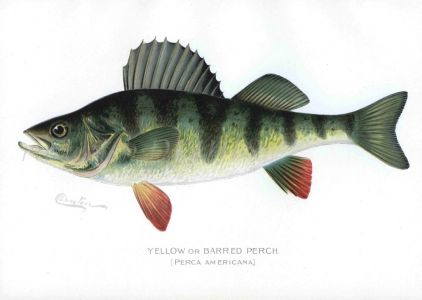 THE YELLOW PERCH print