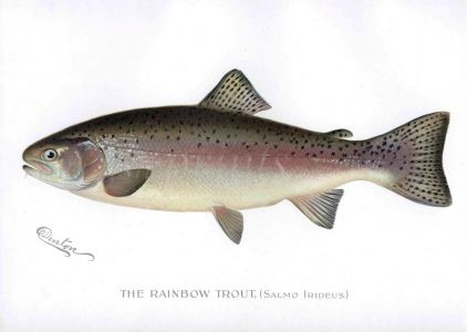 THE RAINBOW TROUT print