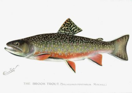 THE BROOK TROUT print