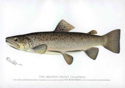 THE BROWN TROUT print
