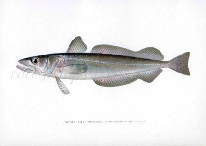 THE WHITING print