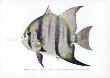 THE SPADE FISH - TRIPLE TAIL print