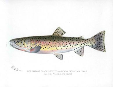 THE RED THROAT BLACK SPOTTED TROUT print (Salmo Mykiss)
