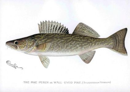 THE PIKEPERCH OR WALL-EYED PIKE print