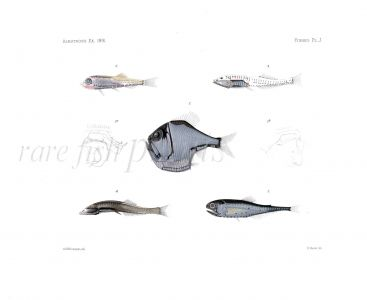 LIGHTFISH, BRISTLEMOUTH, HATCHET & LANTERNFISH  - Garman deep sea fish print