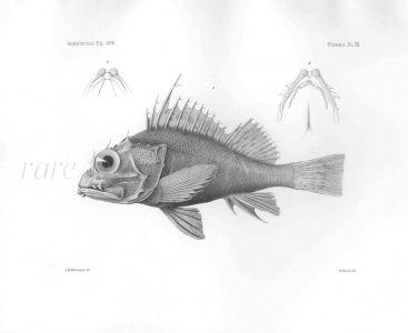 PONTUS FURCIRHINUS