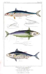 THE MACKEREL & TUNNY print