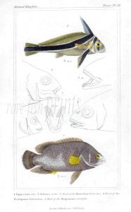 THE RIBBON FISH & TRIPLETAIL print