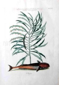 MARK CATESBY - THE REMORA print 1734 -1747