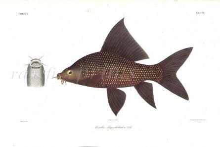 MORULIUS CHRYSOPHEKADION  - BLACK SHARK print
