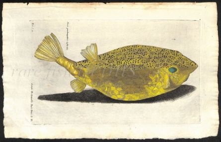 THE SPOTTED BOXFISH print