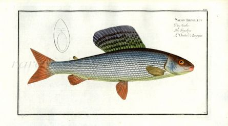 THE GRAYLING print (Salmo Thymallus)
