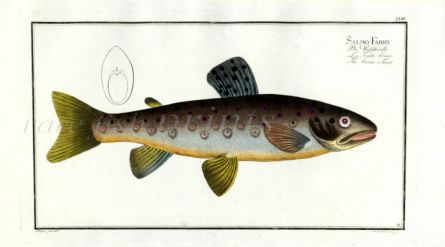 THE BROWN TROUT print (Salmo Fario)