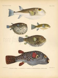 LINEATUS, BLACK SPOTTED PUFFERFISH & SMOOTH, BANDED LEOPARD BLOWFISH print