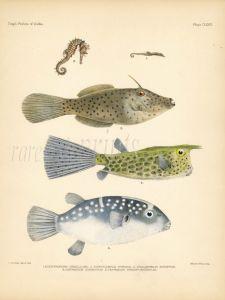 SEAHORSE, LEATHERJACKET FILEFISH, LONGHORN COWFISH  & PUFFERFISH print