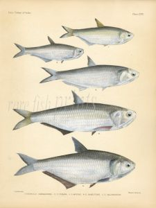 KAMMAL, OBLIQUE-JAW & MOUSTACHED THRYSSA, RAMCARET GRENADIER ANCHOVY print