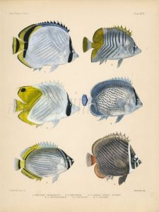 VAGABOND, ATOLL, PEPPERED, MELON & REDTAIL BUTTERFLYFISH print