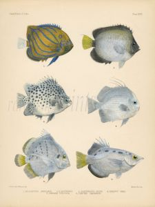 YELLOWTAIL ANGELFISH, SPOTTED SCAT, ORB, SICKLEFISH &  SPOTTED ARCHERFISH print