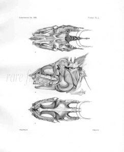 MACRURUS ANGULICEPS- Garman deep sea fish print
