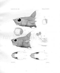 MACRURUS CONVERGENS - Garman deep sea fish print
