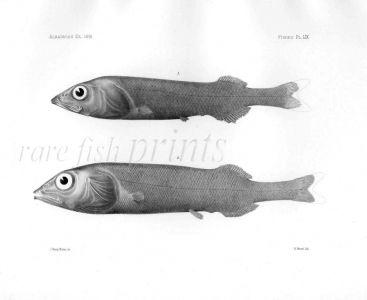 ALEPOCEPHALUS - Garman deep sea fish print