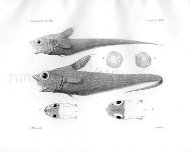 MACRURUS ORBITALIS & LORICATUS - Garman deep sea fish print