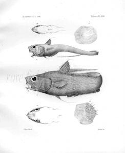 MACRURUS FRAGILIS - Garman deep sea fish print