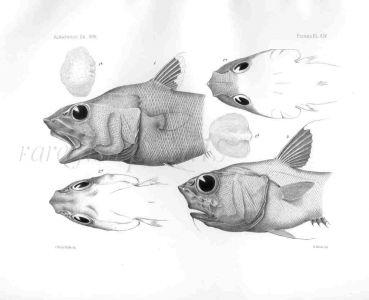 MACRURUS BULBICEPS & BUCEPHALUS - Garman deep sea fish print
