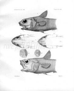 MACRURUS LIRATICEPS - Garman deep sea fish print