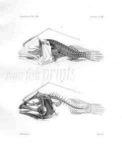 DOLOPICHTHYS ALLECTOR -  Garman deep-sea fish print
