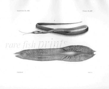 LABICHTHYS BOWERSII & EGG CASE - Garman deep sea fish print