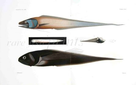 CUSK & SPINY EEL print -  DICROLENE, SCIADONUS - Garman deep sea fish print