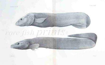 THE TWOLINE EELPOUT - BOTHROCAROPSIS - Garman deep sea fish print