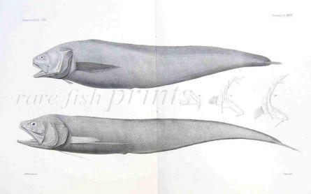 CUSK EEL - HOLCOMYCTERONUS, MIXONUS - Garman deep sea fish print