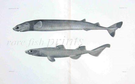 ISISTIUS BRASILIENSIS - Garman deep sea fish print
