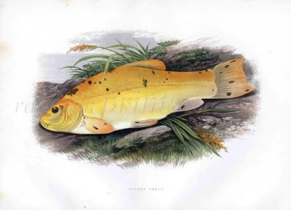 THE GOLDEN TENCH print