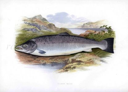 THE ATLANTIC SALMON print